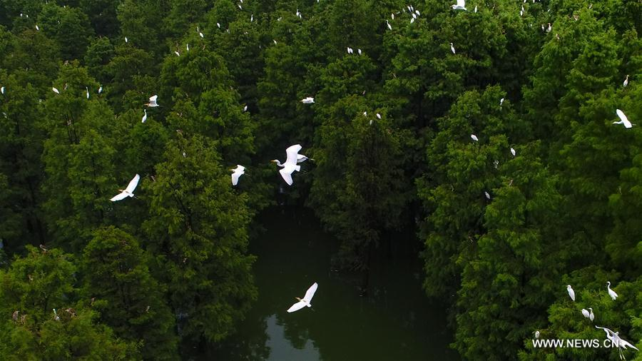 Aerial photo taken on July 5, 2018 shows egrets resting at the Dahantang Reservoir in Lujiang County, east China\'s Anhui Province. The 20-hectare reservoir is a habitat for thousands of egrets. (Xinhua/Guo Chen)