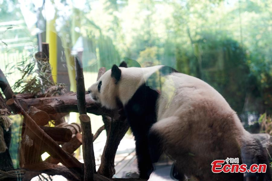 Giant panda Jiaoqing plays at Berlin Zoo in Berlin, Germany. Mengmeng and Jiaoqing, the two giant pandas from China, arrived in Berlin on June 24, 2017. They became superstar during their first-year\'s stay here in Berlin Zoo. The panda pair will stay in Berlin Zoo for 15 years. (Photo: China News Service/Peng Dawei)