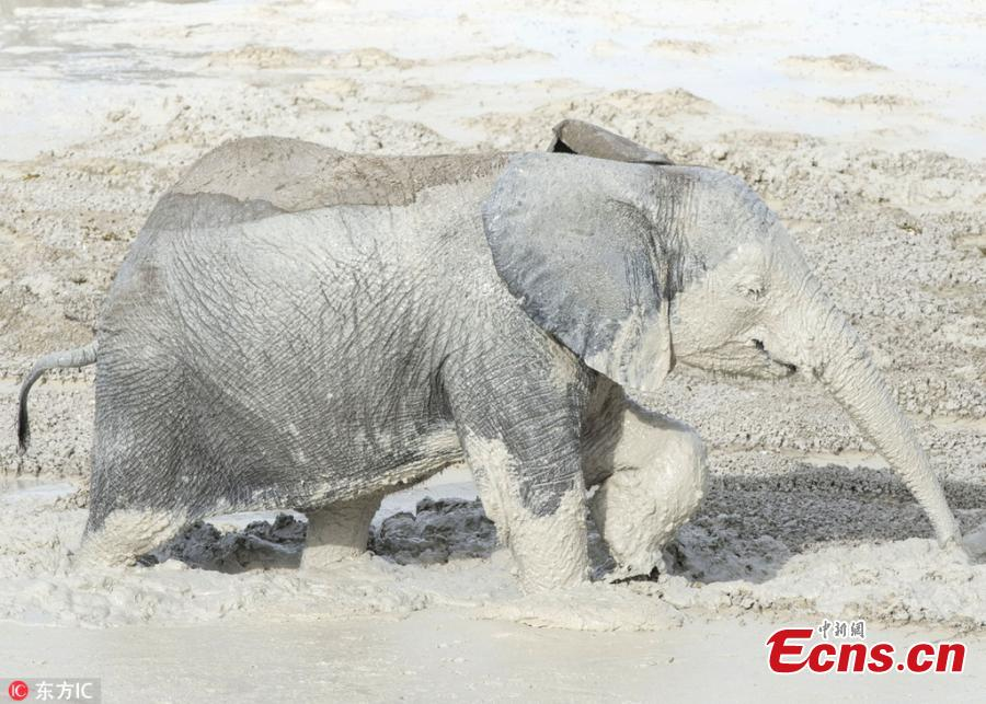 Photo taken by Anja Denker shows an elephant uses clay from the Etosha Pan ? a 120-kilometre lakebed of salt ? to protect itself from the fierce sun at the Etosha National Park in northern Namibia. They coat themselves in the clay and calcite sand, which dries in the sun and lends them white appearance. (Photo/IC)