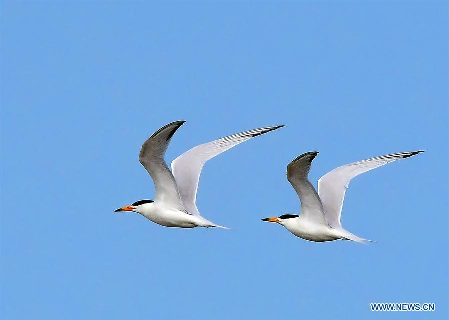 Two Chinese crested terns fly over the wetland of the Minjiang River in southeast China\'s Fujian Province, June 3, 2018. The Chinese crested tern is a critically endangered species. (Xinhua/Mei Yongcun)