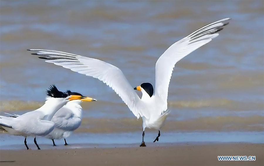 Three Chinese crested terns play on the wetland of the Minjiang River in southeast China\'s Fujian Province, June 3, 2018. The Chinese crested tern is a critically endangered species. (Xinhua/Mei Yongcun)