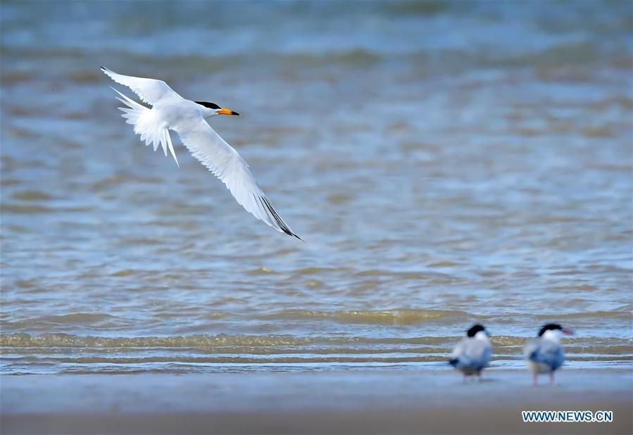 A Chinese crested tern forages on the wetland of the Minjiang River in southeast China\'s Fujian Province, June 3, 2018. The Chinese crested tern is a critically endangered species. (Xinhua/Mei Yongcun)
