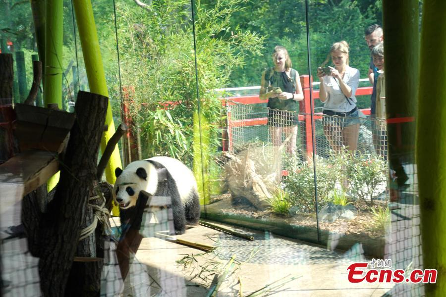 Giant panda Mengmeng plays at Berlin Zoo in Berlin, Germany. Mengmeng and Jiaoqing, the two giant pandas from China, arrived in Berlin on June 24, 2017. They became superstar during their first-year\'s stay here in Berlin Zoo. The panda pair will stay in Berlin Zoo for 15 years. (Photo: China News Service/Peng Dawei)
