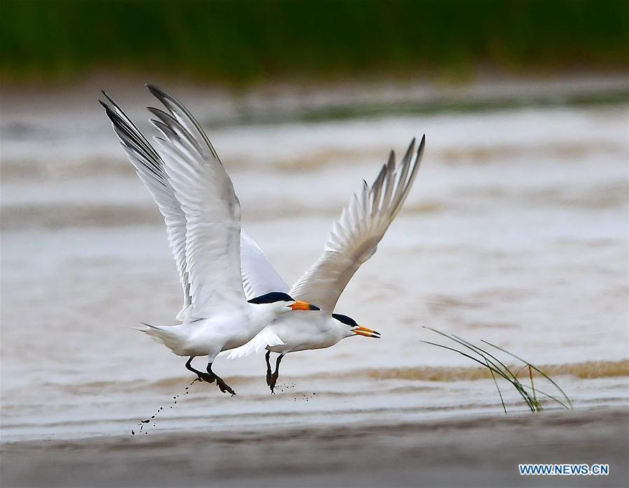 Two Chinese crested terns play on the wetland of the Minjiang River in southeast China\'s Fujian Province, June 2, 2018. The Chinese crested tern is a critically endangered species. (Xinhua/Mei Yongcun)