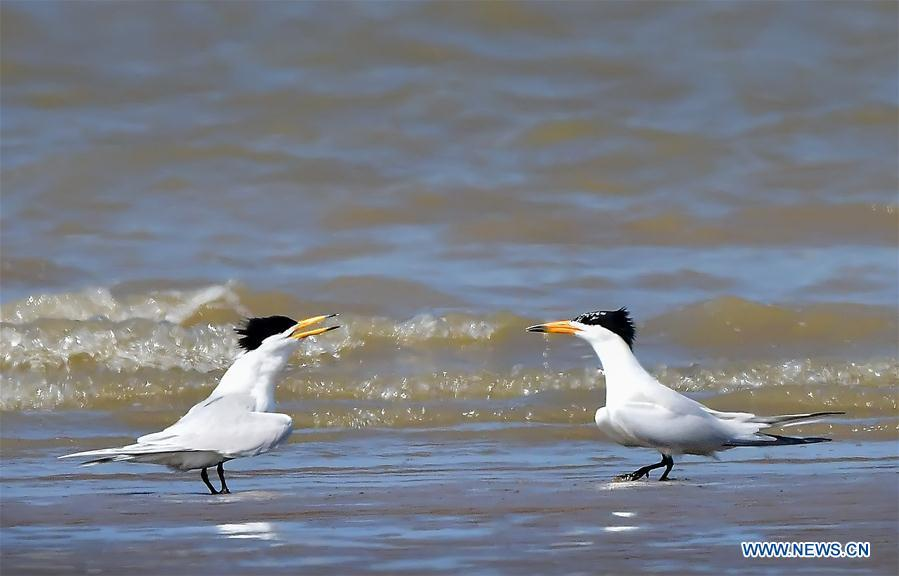 Two Chinese crested terns play on the wetland of the Minjiang River in southeast China\'s Fujian Province, June 3, 2018. The Chinese crested tern is a critically endangered species. (Xinhua/Mei Yongcun)