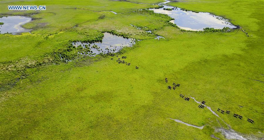 Aerial photo taken on July 1, 2017 shows a wetland in Hulun Buir, north China\'s Inner Mongolia Autonomous Region. China, with a total wetland area of 53.6 million hectares, ranks first in Asia and fourth in the world, official data showed. The statistics were released by the National Forestry and Grassland Administration at the Eco Forum Global Annual Conference held in southwest China\'s Guizhou Province. China has 57 wetlands that are of international importance, 602 wetland nature reserves and 898 national wetland parks, according to the administration. In the country\'s wetland ecosystem, there are 4,220 species of plant and 2,312 species of animals, with the wetland protection rate reaching 49 percent, the statistics showed. (Xinhua/Lian Zhen)