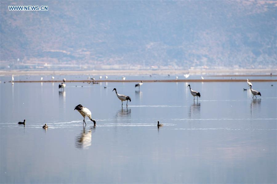 Black-necked cranes and other birds rest at the Napahai Nature Reserve in Shangri-la, southwest China\'s Yunnan Province, March 11, 2018. China, with a total wetland area of 53.6 million hectares, ranks first in Asia and fourth in the world, official data showed. The statistics were released by the National Forestry and Grassland Administration at the Eco Forum Global Annual Conference held in southwest China\'s Guizhou Province. China has 57 wetlands that are of international importance, 602 wetland nature reserves and 898 national wetland parks, according to the administration. In the country\'s wetland ecosystem, there are 4,220 species of plant and 2,312 species of animals, with the wetland protection rate reaching 49 percent, the statistics showed. (Xinhua/Hu Chao)