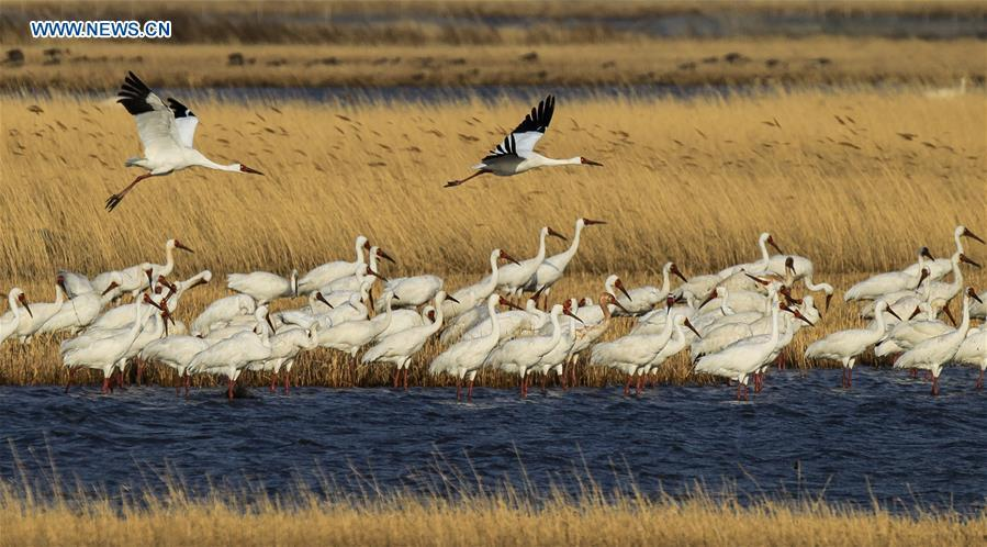 White cranes fly over the Momoge wetland in Baicheng, northeast China\'s Jilin Province. China, with a total wetland area of 53.6 million hectares, ranks first in Asia and fourth in the world, official data showed. The statistics were released by the National Forestry and Grassland Administration at the Eco Forum Global Annual Conference held in southwest China\'s Guizhou Province. China has 57 wetlands that are of international importance, 602 wetland nature reserves and 898 national wetland parks, according to the administration. In the country\'s wetland ecosystem, there are 4,220 species of plant and 2,312 species of animals, with the wetland protection rate reaching 49 percent, the statistics showed.(Xinhua/Wang Haofei)