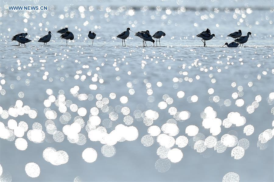 Migrant birds are seen at the Beidagang wetland in north China\'s Tianjin, Nov. 15, 2017. China, with a total wetland area of 53.6 million hectares, ranks first in Asia and fourth in the world, official data showed. The statistics were released by the National Forestry and Grassland Administration at the Eco Forum Global Annual Conference held in southwest China\'s Guizhou Province. China has 57 wetlands that are of international importance, 602 wetland nature reserves and 898 national wetland parks, according to the administration. In the country\'s wetland ecosystem, there are 4,220 species of plant and 2,312 species of animals, with the wetland protection rate reaching 49 percent, the statistics showed. (Xinhua/Yue Yuewei)