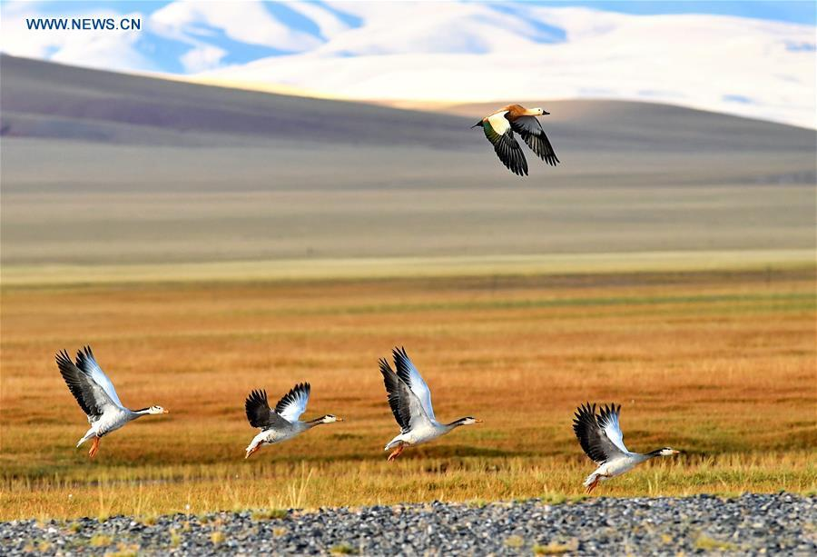 A ruddy shelduck and a flock of bar-headed geese fly over a wetland in Nyima County of southwest China\'s Tibet Autonomous Region, Sept. 19, 2017. China, with a total wetland area of 53.6 million hectares, ranks first in Asia and fourth in the world, official data showed. The statistics were released by the National Forestry and Grassland Administration at the Eco Forum Global Annual Conference held in southwest China\'s Guizhou Province. China has 57 wetlands that are of international importance, 602 wetland nature reserves and 898 national wetland parks, according to the administration. In the country\'s wetland ecosystem, there are 4,220 species of plant and 2,312 species of animals, with the wetland protection rate reaching 49 percent, the statistics showed. (Xinhua/Zhang Rufeng)