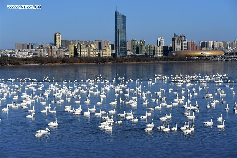 Photo taken on Feb. 2, 2018 shows swans at the Yellow River wetland in Sanmenxia City, central China\'s Henan Province. China, with a total wetland area of 53.6 million hectares, ranks first in Asia and fourth in the world, official data showed. The statistics were released by the National Forestry and Grassland Administration at the Eco Forum Global Annual Conference held in southwest China\'s Guizhou Province. China has 57 wetlands that are of international importance, 602 wetland nature reserves and 898 national wetland parks, according to the administration. In the country\'s wetland ecosystem, there are 4,220 species of plant and 2,312 species of animals, with the wetland protection rate reaching 49 percent, the statistics showed. (Xinhua/Sun Zhiping)