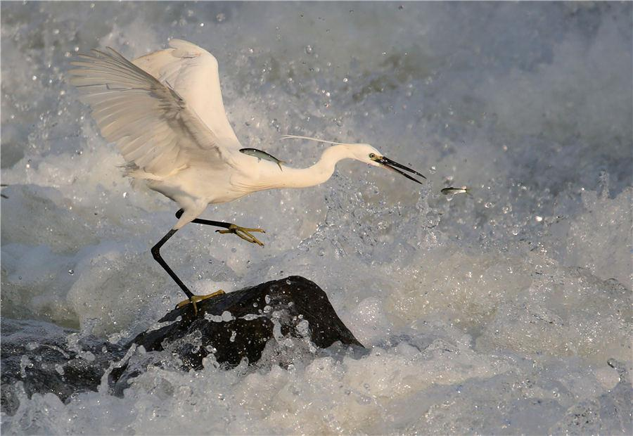 An egret catches fish among the rapids of Xin\'an River in East China\'s Anhui Province, on July 8, 2018. (Photo/Asianewsphoto)