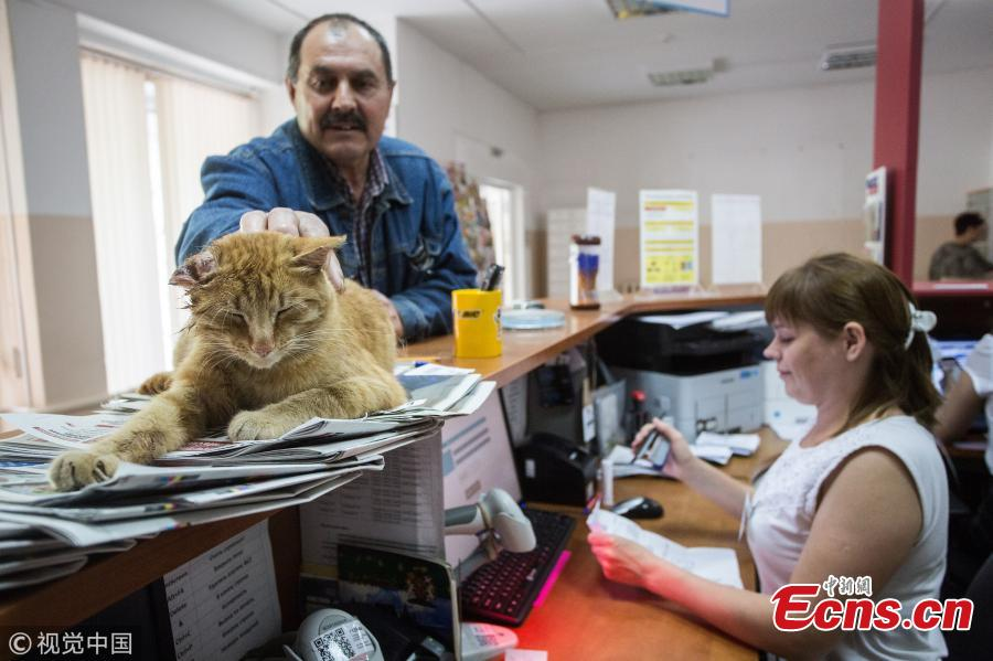 Photo taken on July 6, 2018 shows a cat named Ryzhy (Ginger) at the 120th office of the Russian Post in 3rd Leningradskaya Street, Omsk, Russia. The cat has been declared the Russian Post\'s Employee of the Year, at the 120th office of the Russian Post. The stray cat appeared at the office a month ago and has become its mascot cheering up the clients and helping to increase the profits. (Photo/VCG)