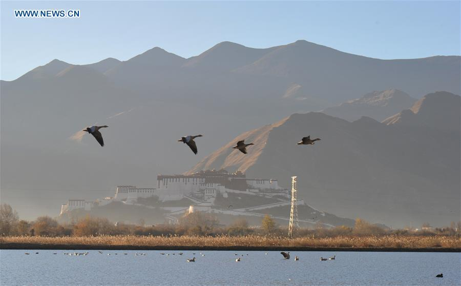 Bar-headed geese fly over Lhalu wetland in Lhasa, southwest China\'s Tibet Autonomous Region, Nov. 23, 2017. China, with a total wetland area of 53.6 million hectares, ranks first in Asia and fourth in the world, official data showed. The statistics were released by the National Forestry and Grassland Administration at the Eco Forum Global Annual Conference held in southwest China\'s Guizhou Province. China has 57 wetlands that are of international importance, 602 wetland nature reserves and 898 national wetland parks, according to the administration. In the country\'s wetland ecosystem, there are 4,220 species of plant and 2,312 species of animals, with the wetland protection rate reaching 49 percent, the statistics showed. (Xinhua/Zhang Rufeng)