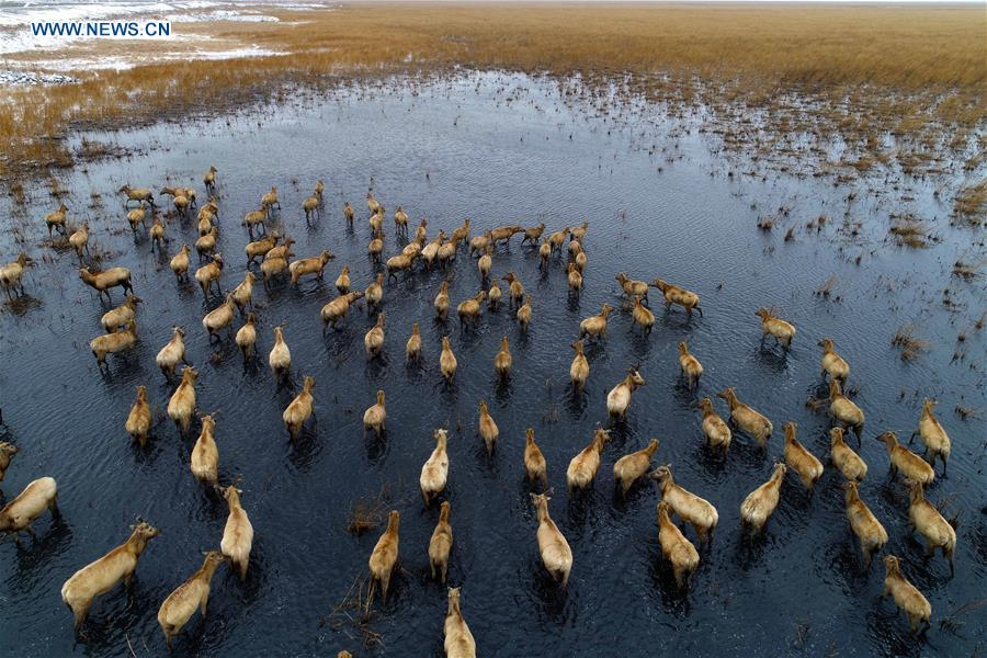 Photo taken on Jan. 25, 2018 shows a herd of milu deer at a wetland in Yancheng, east China\'s Jiangsu Province. China, with a total wetland area of 53.6 million hectares, ranks first in Asia and fourth in the world, official data showed. The statistics were released by the National Forestry and Grassland Administration at the Eco Forum Global Annual Conference held in southwest China\'s Guizhou Province. China has 57 wetlands that are of international importance, 602 wetland nature reserves and 898 national wetland parks, according to the administration. In the country\'s wetland ecosystem, there are 4,220 species of plant and 2,312 species of animals, with the wetland protection rate reaching 49 percent, the statistics showed. (Xinhua/He Jinghua)