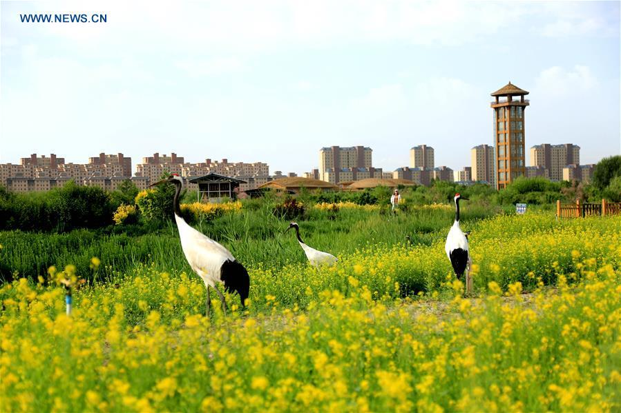 Photo taken on June 11, 2018 shows red-crowned cranes at a national wetland park in Zhangye, northwest China\'s Gansu Province. China, with a total wetland area of 53.6 million hectares, ranks first in Asia and fourth in the world, official data showed. The statistics were released by the National Forestry and Grassland Administration at the Eco Forum Global Annual Conference held in southwest China\'s Guizhou Province. China has 57 wetlands that are of international importance, 602 wetland nature reserves and 898 national wetland parks, according to the administration. In the country\'s wetland ecosystem, there are 4,220 species of plant and 2,312 species of animals, with the wetland protection rate reaching 49 percent, the statistics showed. (Xinhua/Chen Li)