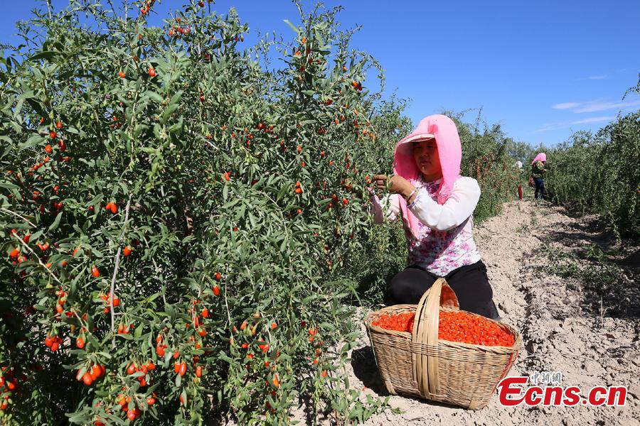 A woman picks goji berries, also known as wolfberries, in Linze County, Zhangye City, Guansu Province, July 9, 2018, as the harvest season begins. (Photo: China News Service/Zhang Yuan)