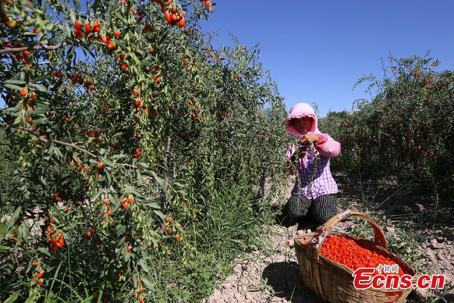 A woman carries goji berries, also known as wolfberries, in Linze County, Zhangye City, Guansu Province, July 9, 2018, as the harvest season begins. (Photo: China News Service/Zhang Yuan)