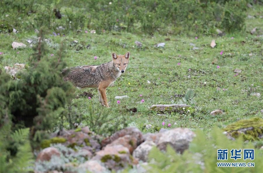 A Chinese expedition team has captured clear images of what observers believe is a Golden Jackal. The Golden Jackal is a fox-like animal thought to be living in the southern Himalayan Mountain Range in the south of Tibet. (Photo/Xinhua)