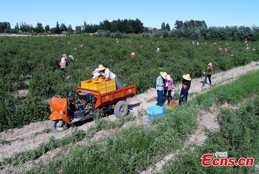 Workers pick goji berries, also known as wolfberries, in Linze County, Zhangye City, Guansu Province, July 9, 2018, as the harvest season begins. (Photo: China News Service/Zhang Yuan)