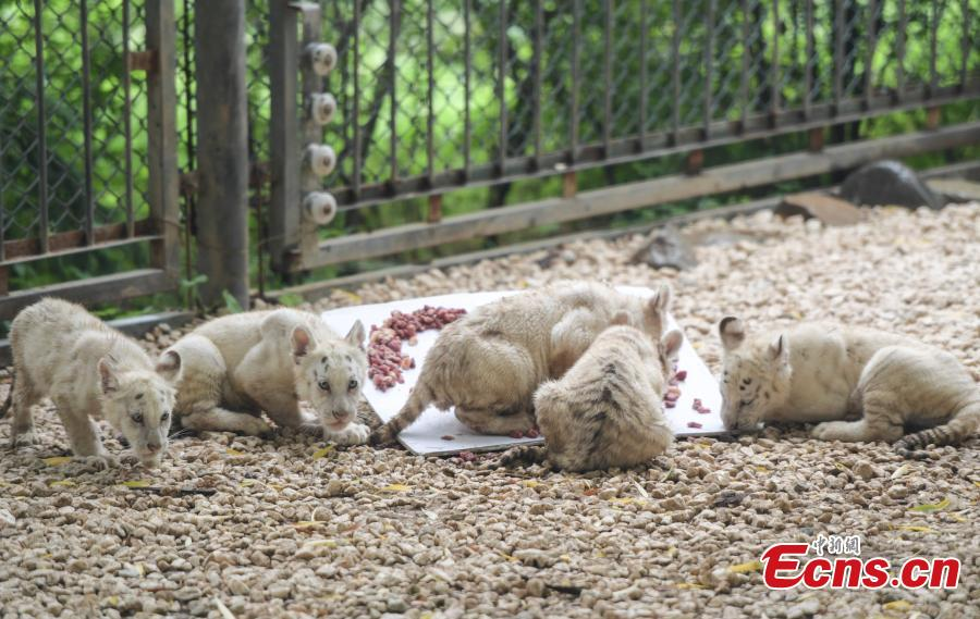 A party is held to celebrate 100 days since the birth of rare White Bengal tiger quintuplets at Wild World in Jinan City, East China's Shandong Province, July 10, 2018. (Photo: China News Service/Zhang Yong)