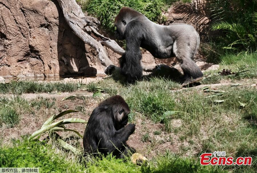 Kelly, top, a silverback gorilla, walks past Ndjia as she takes an ice treat during her debut at the Los Angeles Zoo on Thursday, July 12, 2018. Ndjia, was brought from the San Diego Zoo on May 9, 2018, to be paired with the Los Angeles Zoo\'s male Kelly, under a program that breeds western lowland gorillas, a species considered critically endangered in the wild. (Photo/Agencies)