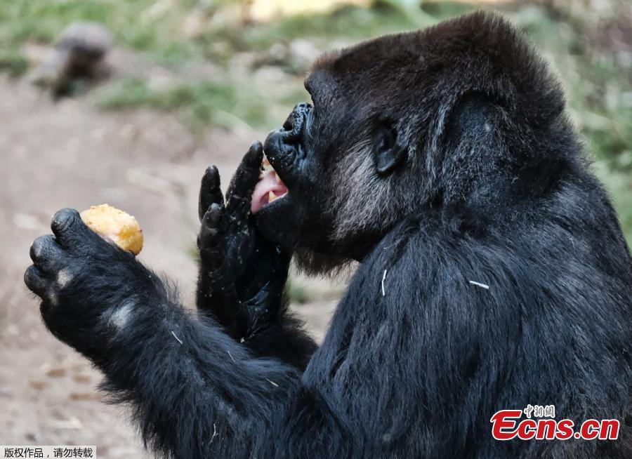 A female western lowland gorilla named Ndjia takes a morning ice treat during her debut at the Los Angeles Zoo on Thursday, July 12, 2018. She was brought from the San Diego Zoo on May 9 to be paired with the Los Angeles Zoo\'s male silverback gorilla, Kelly, under a program that breeds western lowland gorillas, a species considered critically endangered in the wild. (Photo/Agencies)