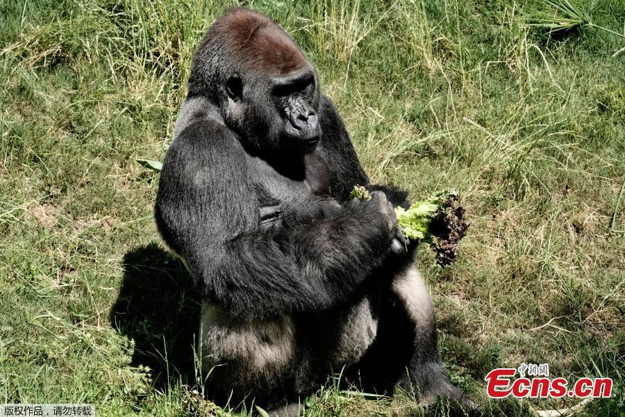 Kelly, a silverback lowland gorilla, sits in his enclosure taking breakfast while Ndjia, a 24-year-old female gorilla, not seen in photo, makes her debut at the Los Angeles Zoo on Thursday, July 12, 2018. Ndjia, was brought from the San Diego Zoo on May 9, 2018, to be paired with the Los Angeles Zoo\'s male Kelly, under a program that breeds western lowland gorillas, a species considered critically endangered in the wild. (Photo/Agencies)