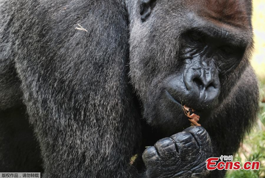 Kelly, a silverback lowland gorilla, takes his breakfast while keeping an eye out on Ndjia, a female gorilla making her debut at the Los Angeles Zoo on Thursday, July 12, 2018. Ndjia, was brought from the San Diego Zoo on May 9, 2018, to be paired with the Los Angeles Zoo\'s male Kelly, under a program that breeds western lowland gorillas, a species considered critically endangered in the wild. (Photo/Agencies)