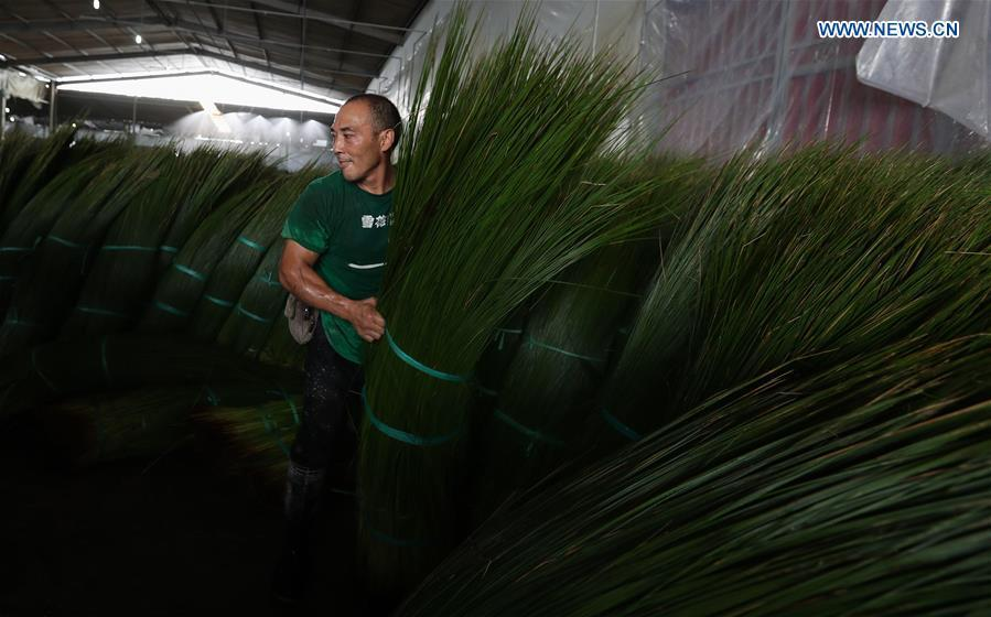 A worker carries bundled soft rush straws in a factory in Dongpo District of Meishan, southwest China\'s Sichuan Province, July 13, 2018. Meishan is a major producer and exporter of soft rush (Juncus effusus) in China. The straws of soft rush are widely used as a weaving material for mats and sheets. (Xinhua/Jiang Hongjing)