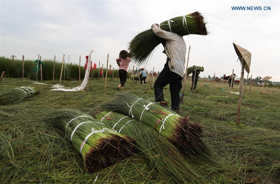 Farmers carry harvested soft rush straws in Dongpo District of Meishan, southwest China\'s Sichuan Province, July 13, 2018. Meishan is a major producer and exporter of soft rush (Juncus effusus) in China. The straws of soft rush are widely used as a weaving material for mats and sheets. (Xinhua/Jiang Hongjing)