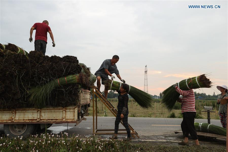 Farmers load harvested soft rush straws onto a truck in Dongpo District of Meishan, southwest China\'s Sichuan Province, July 13, 2018. Meishan is a major producer and exporter of soft rush (Juncus effusus) in China. The straws of soft rush are widely used as a weaving material for mats and sheets. (Xinhua/Jiang Hongjing)