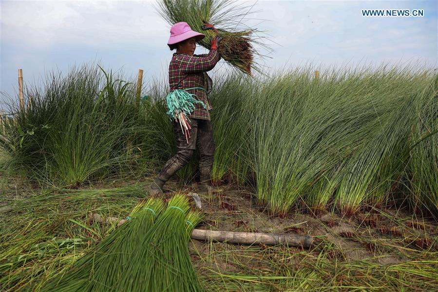 A farmer harvests soft rush straws in Dongpo District of Meishan, southwest China\'s Sichuan Province, July 13, 2018. Meishan is a major producer and exporter of soft rush (Juncus effusus) in China. The straws of soft rush are widely used as a weaving material for mats and sheets. (Xinhua/Jiang Hongjing)