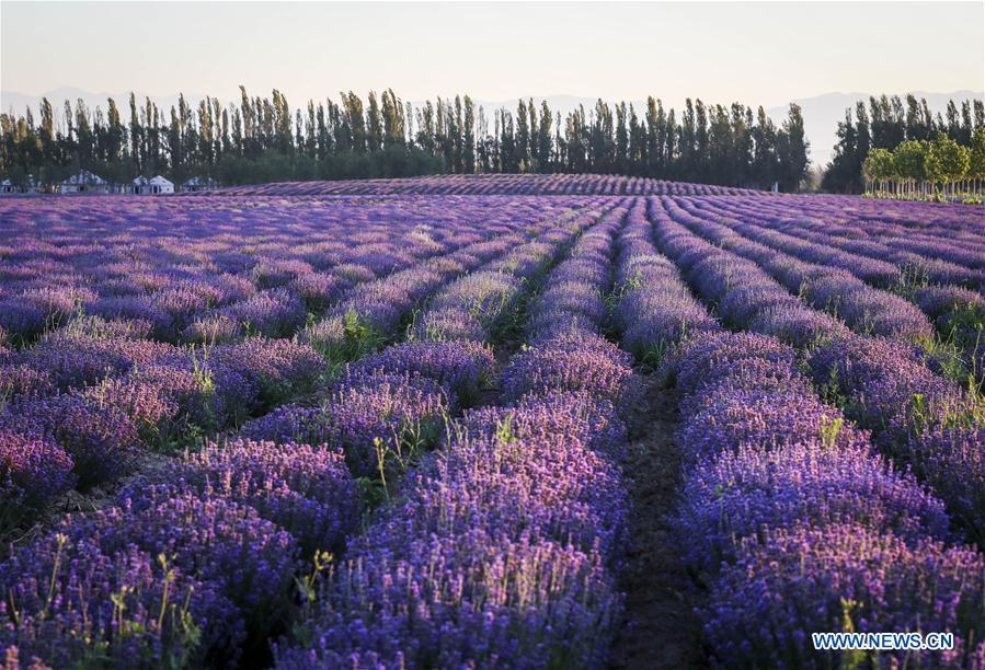 Photo taken on June 28, 2018 shows the fields of lavender in Kazak Autonomous Prefecture of Ili, northwest China\'s Xinjiang Uygur Autonomous Region. Ili is one major lavender cultivation base in China and every summer is the harvest season for the beekeepers. (Xinhua/Zhao Ge)