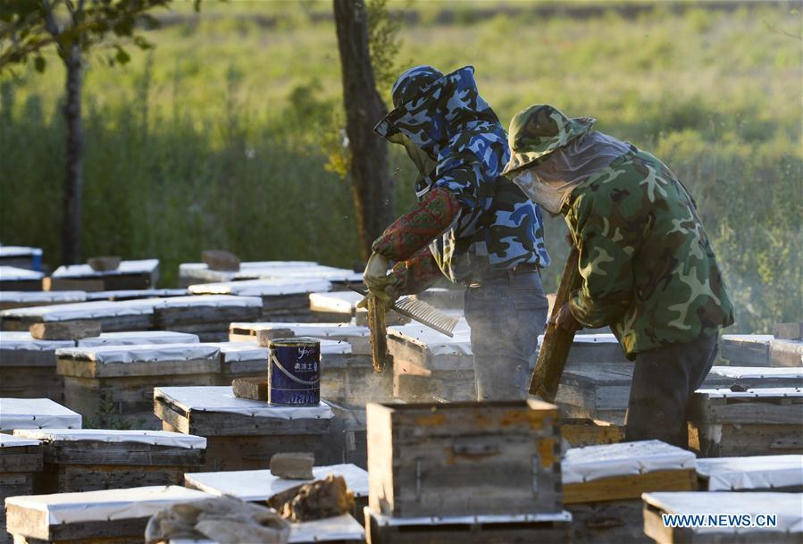 Beekeepers arrange honeycombs in Kazak Autonomous Prefecture of Ili, northwest China\'s Xinjiang Uygur Autonomous Region, June 28, 2018. Ili is one major lavender cultivation base in China and every summer is the harvest season for the beekeepers. (Xinhua/Zhao Ge)