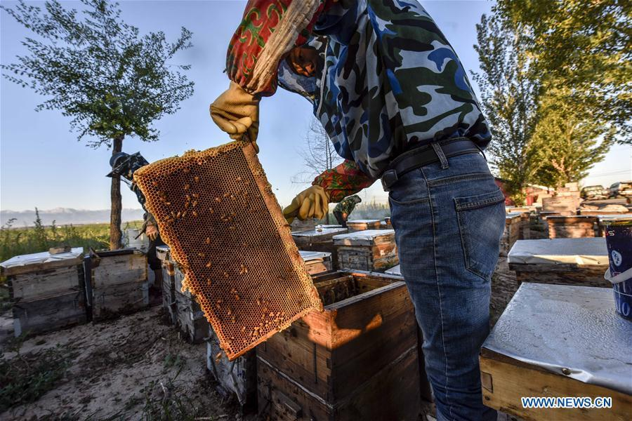 A beekeeper arranges a honeycomb in Kazak Autonomous Prefecture of Ili, northwest China\'s Xinjiang Uygur Autonomous Region, June 28, 2018. Ili is one major lavender cultivation base in China and every summer is the harvest season for the beekeepers. (Xinhua/Zhao Ge)
