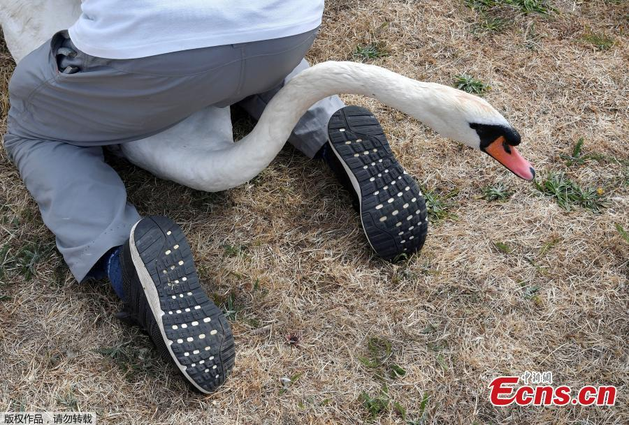 Officials record and examine cygnets and swans during the annual census of the Queen\'s swans, known as \'Swan Upping\', along the River Thames near Chertsey, Britain, July 16, 2018. (Photo/Agencies)