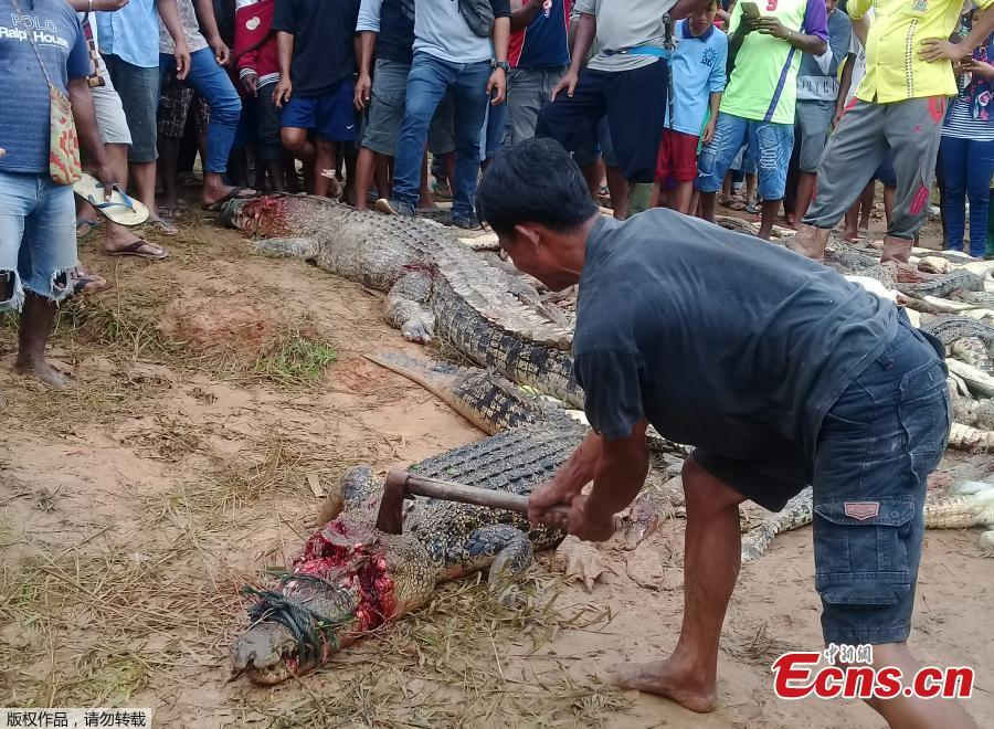 Armed with knives, hammers and clubs, villagers in the Sorong district of West Papua, Indonesia have killed 292 crocodiles at a sanctuary for the animals in retaliation for Sugito, a local man thought to have been killed by one animal from the site. The killing of a protected species is a crime that carries a fine or imprisonment in Indonesia, but local police were not able to stop the attack. (Photo/Agenies)