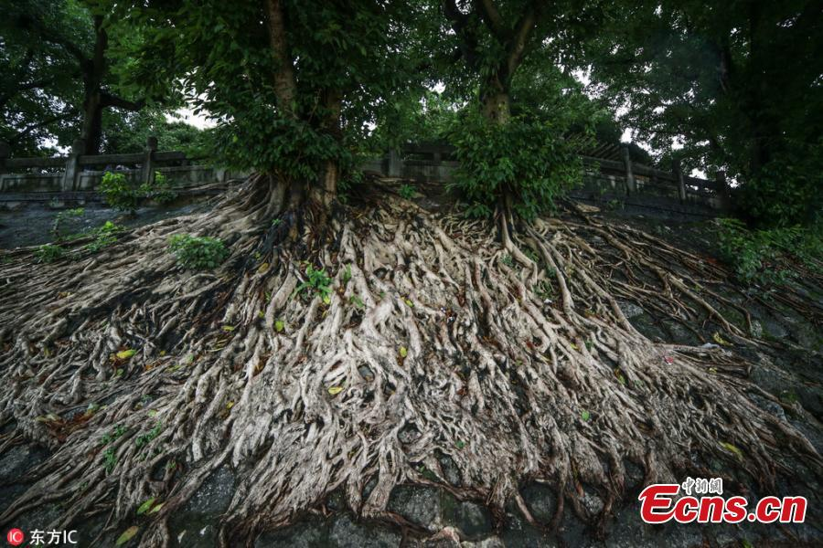 Banyan tree roots spread over remains of a city wall of the Qing Dynasty (1368-1644) near the Yongjiang River Bridge in Nanning City, South China's Guangxi Zhuang Autonomous Region, July 16, 2018. (Photo/IC)