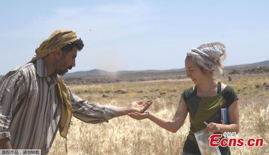 Amaia Arranz-Otaegui, a University of Copenhagen postdoctoral researcher in archaeobotany, and Ali Shakaiteer, a local assistant to researchers working at an archeological site in the Black Desert in northeastern Jordan, are seen collecting wheat in this image provided on July 16, 2018. (Photo/Agencies)