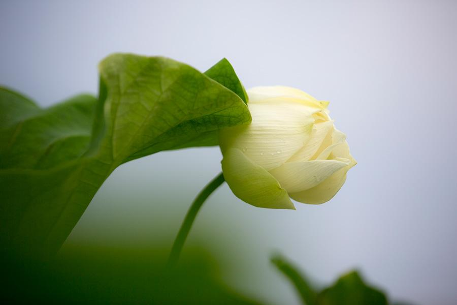 A white lotus flower is seen on Baiyangdian Lake. (Photo/China Daily)