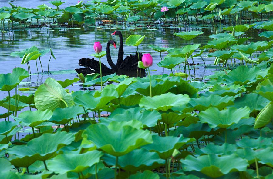 Black swans swim across Baiyangdian Lake in Xiongan New Area, surrounded by lotus flowers and leaves. (Photo/China Daily)  When July comes, a vast area of lotus flowers will be seen on Baiyangdian Lake in Xiongan New Area, North China\'s Hebei Province. The beautiful scenery always attracts lots of tourists each year to visit Baiyangdian during the season.
