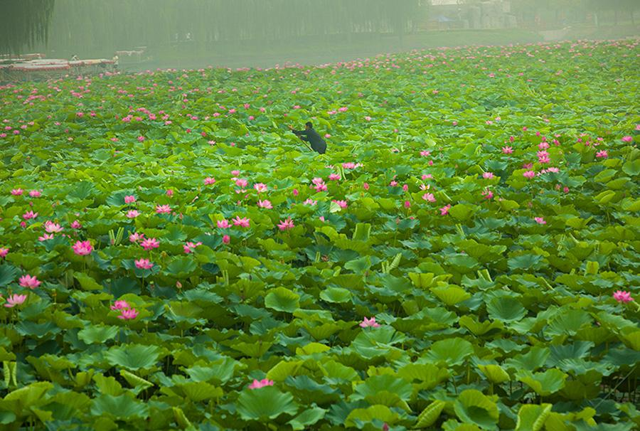 Delicate lotus flowers are in full bloom in Xiongan New Area. (Photo/China Daily)