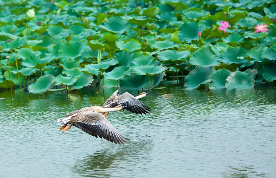 Two birds fly over Baiyangdian Lake in Xiongan New Area.(Photo/China Daily)