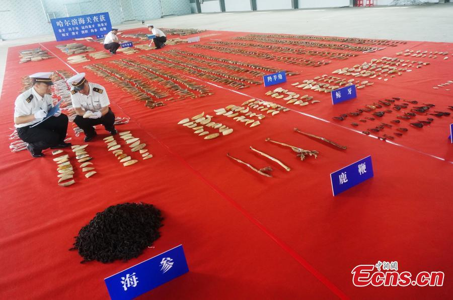 Customs officers check seized animal products including antelope horns, mammoth ivory, and ivory, with an estimated worth of 100 million yuan ($15 million), in Harbin, Northeast China's Heilongjiang Province. The haul marked the largest number of endangered animal products seized from smugglers by Chinese customs in recent years. (Photo provided to China News Service)
