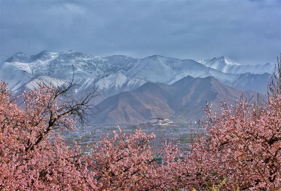 Photo taken on March 29, 2018 shows flowers blooming in Lhasa, capital of southwest China\'s Tibet Autonomous Region. (Xinhua/Yexe Dainzin)