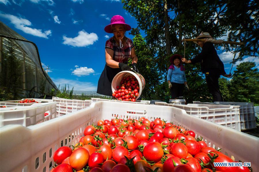 Photo taken on July 18, 2018 shows farmers busy harvesting cherry tomatoes in Dafang County of Bijie, southwest China\'s Guizhou Province. Farmers in Bijie County are busy collecting cherry tomatoes during the harvest season. (Xinhua/Luo Dafu)