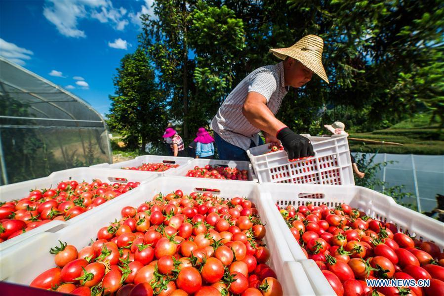 Farmers harvest cherry tomatoes in Dafang County of Bijie, southwest China\'s Guizhou Province, July 18, 2018. Farmers in Bijie County are busy collecting cherry tomatoes during the harvest season. (Xinhua/Luo Dafu)