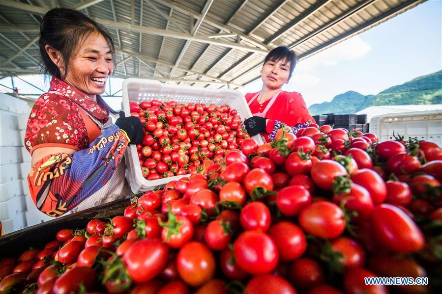 Farmers load cherry tomatoes in Dafang County of Bijie, southwest China\'s Guizhou Province, July 18, 2018. Farmers in Bijie County are busy collecting cherry tomatoes during the harvest season. (Xinhua/Luo Dafu)