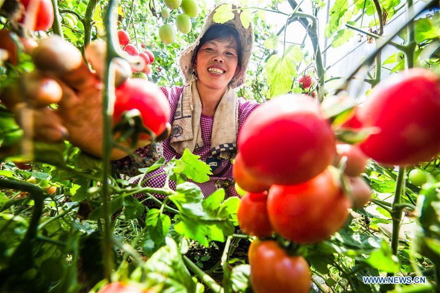 A farmer picks cherry tomatoes in the field in Dafang County of Bijie, southwest China\'s Guizhou Province, July 18, 2018. Farmers in Bijie County are busy collecting cherry tomatoes during the harvest season. (Xinhua/Luo Dafu)